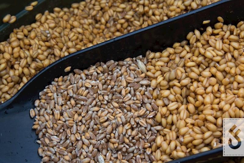 Het verschil tussen droge en geweekte tarwe