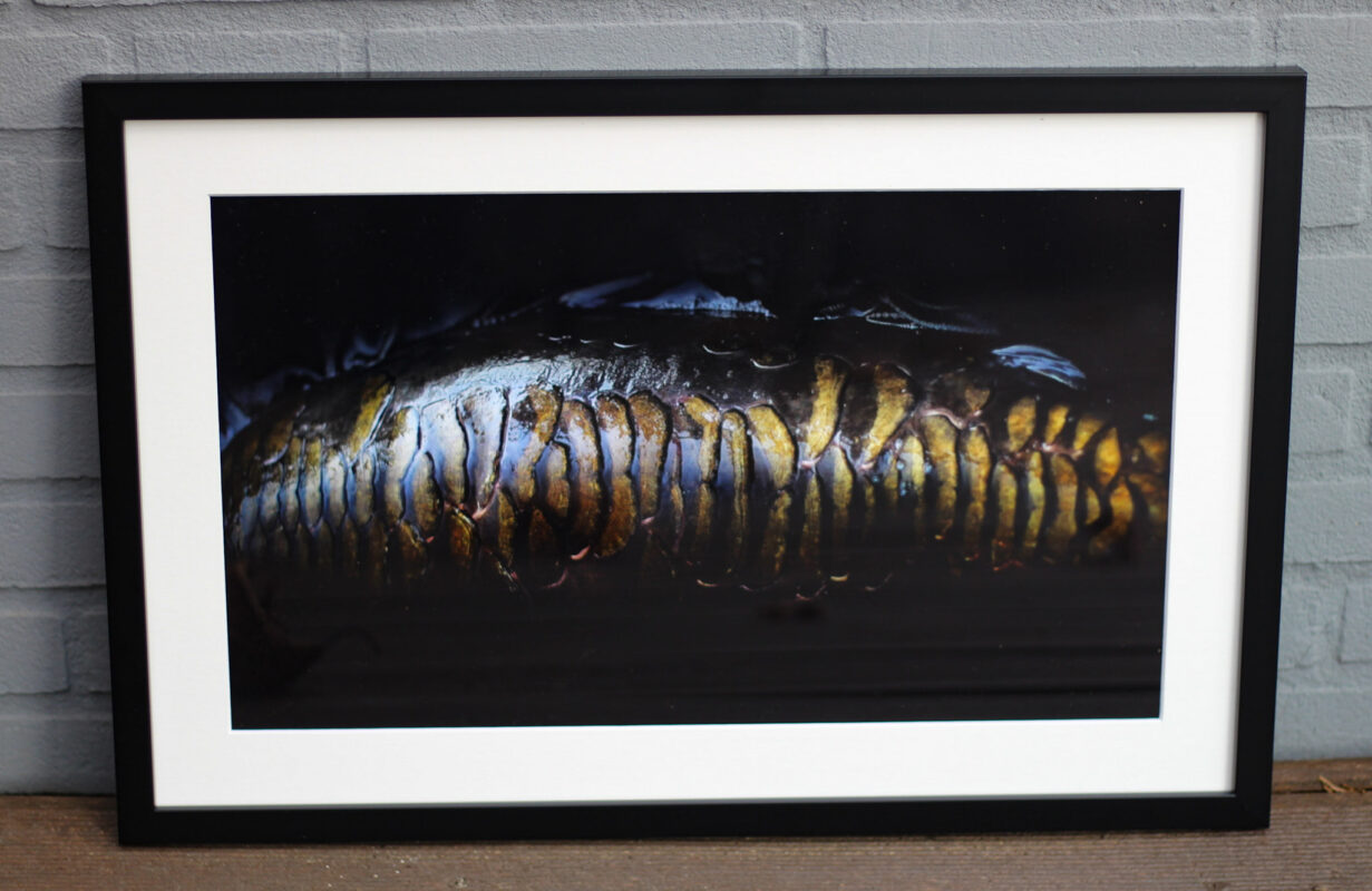 The Art of Carp - CF News Flash