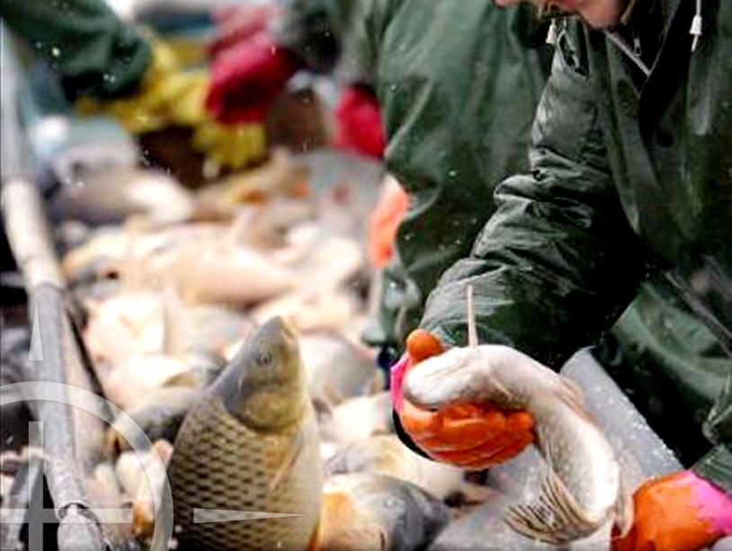 Karpers en andere zoetwatervissen op de markt in Tsjechië
