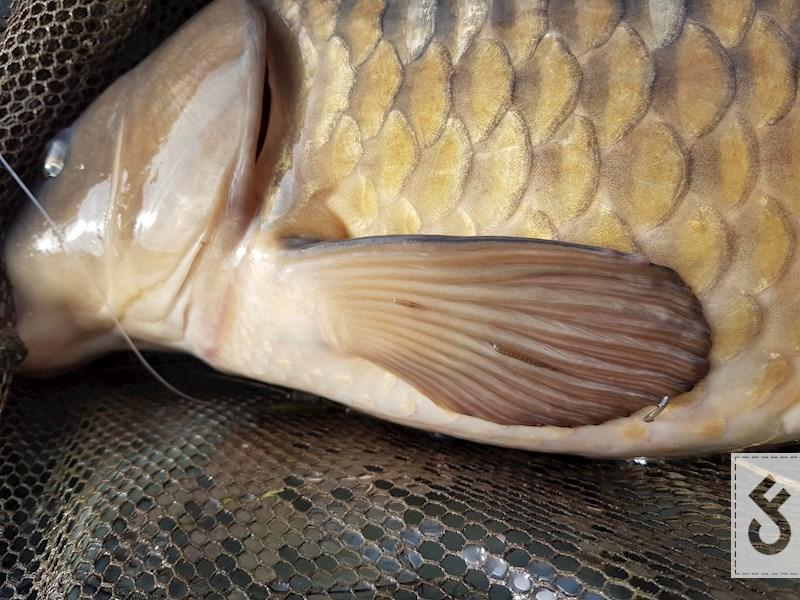 Karpers worden actiever naarmate de watertemparatuur stijgt. De bloedzuigers op de vinnen zijn een indicatie dat de vis nog niet erg actief is.