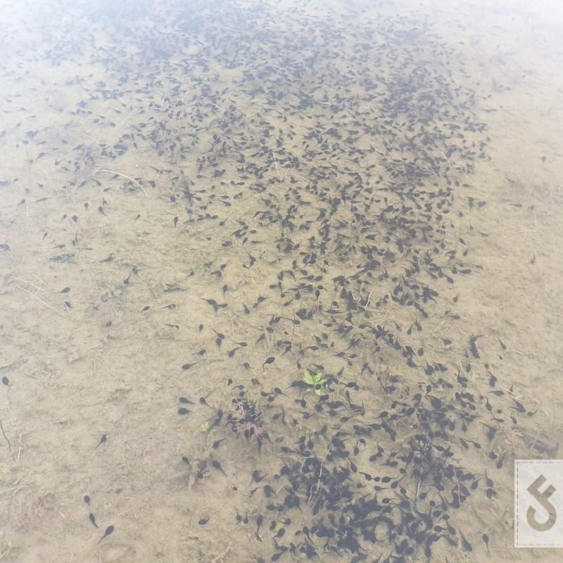 Kikkervisjes: Natuurlijk voedsel in overvloed