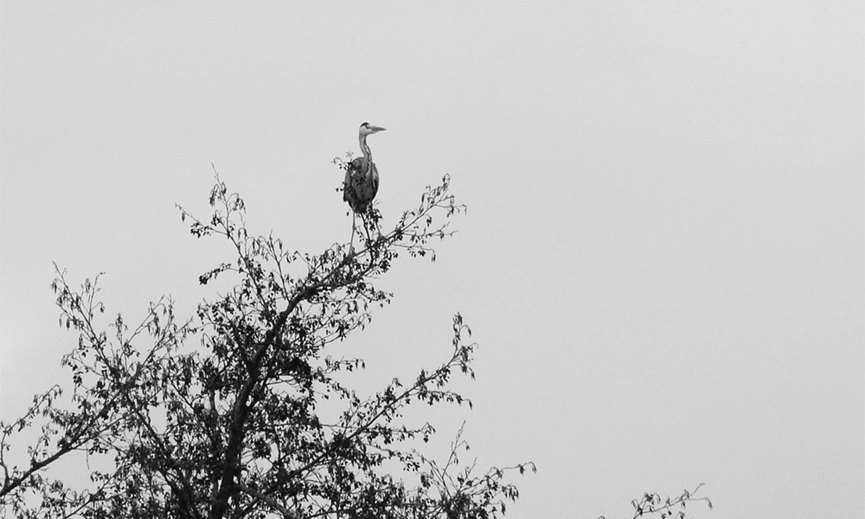 De reiger op het uiterste topje van de boom