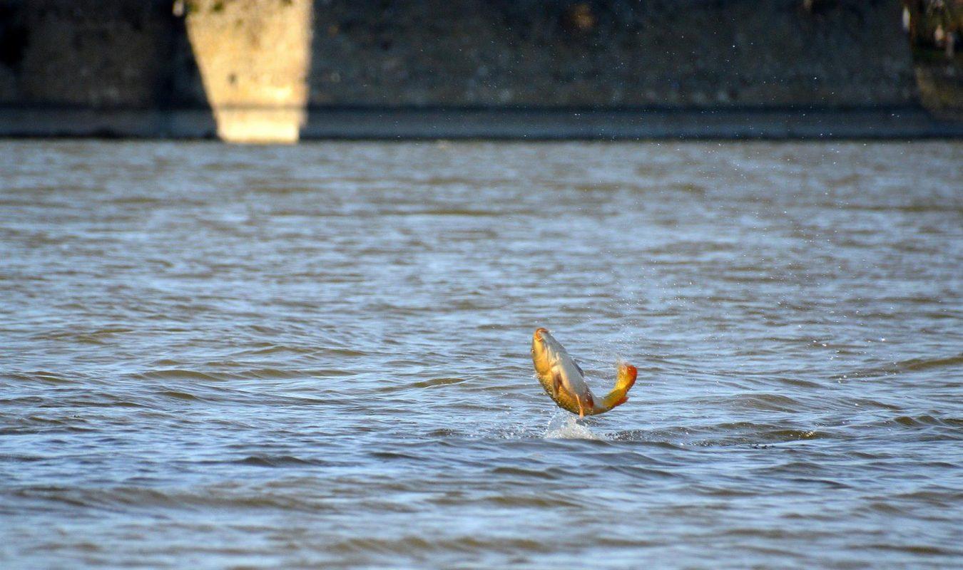 Karpers laten door te springen vaak zien waar ze zwemmen, tijd om daar op in te springen!