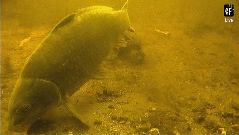 Dankzij onderwaterbeelden zijn we al veel te weten gekomen over het (aas)gedrag van de karper