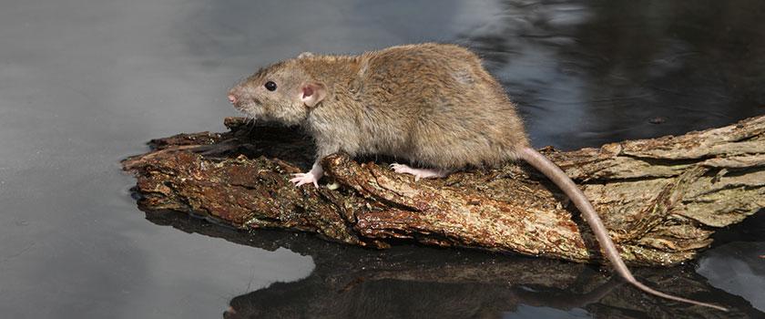 gevaren aan de waterkant: bruine rat
