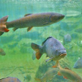 Een aquarium met wel 200 karpers!